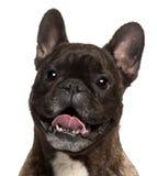 tätt franskt gammalt flåsa för 5 bulldogg upp år arkivbilder