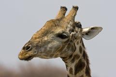tätt giraffhuvud upp Royaltyfri Fotografi