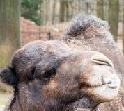 tätt huvud för kamel upp Fotografering för Bildbyråer
