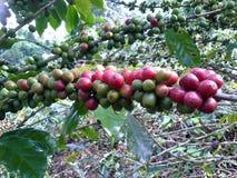 tätt kaffe för böna som skjutas upp Royaltyfria Foton