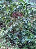 tätt kaffe för böna som skjutas upp Royaltyfri Fotografi
