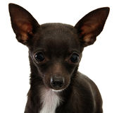 tätt med textsidan upp för chihuahua Royaltyfri Bild