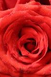 tätt rött rose övre Royaltyfri Fotografi