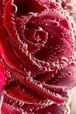 tätt rött rose övre Arkivbild
