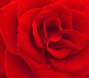 tätt rött rose övre Royaltyfria Foton