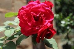 tätt rött rose övre Arkivbilder