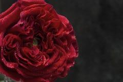tätt rött rose övre Royaltyfria Bilder