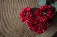 tätt rött rose övre Royaltyfri Bild