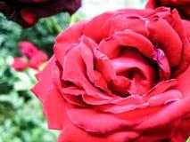 tätt rött rose övre Royaltyfri Foto