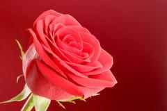 tätt rött rose övre för bakgrund arkivfoto