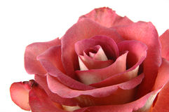 tätt rött rose övre för choklad arkivfoton
