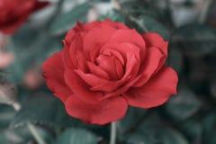tätt rött rose övre arkivfoto