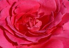 tätt rosa rose övre Arkivbild
