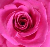 tätt rosa rose övre Arkivfoto