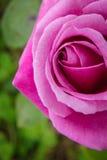 tätt rosa rose övre Royaltyfri Foto