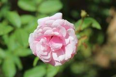 tätt rosa rose övre Royaltyfri Bild