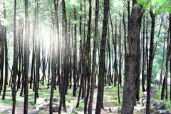 Tätt sörja trädskogen i utlöpare av Himalaya med solljus som kommer till och med träden Royaltyfria Foton