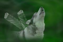 tätt tjuta upp wolf Fotografering för Bildbyråer