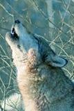 tätt tjuta upp wolf Arkivfoto