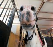 Tätt tysta ned upp av den vita hästen royaltyfria foton