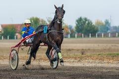 Tävlings- häst i rörelse Royaltyfri Foto