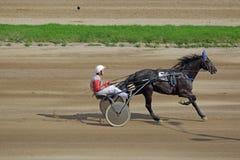Tävlings- häst i rörelse Arkivbild