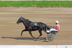 Tävlings- häst i rörelse Arkivfoton