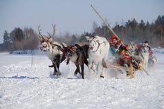 tävlings- hjortar Arkivfoton