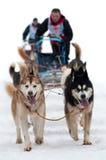 tävlings- sled för hund Arkivfoton