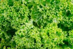 Tło, tekstura zielona świeża sałata Foods bogaci w vitamins_ fotografia stock