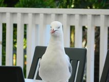 Tålmodig Seagull Arkivbilder