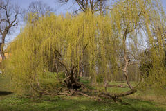 Tårpilträd i parkera Arkivbild