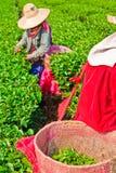 Tè che coltiva nel Nord della Tailandia Immagini Stock Libere da Diritti