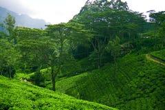 Tè del Ceylon Fotografia Stock