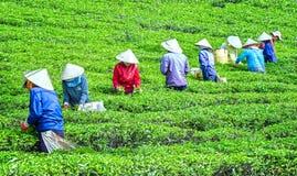 Tè del raccolto degli agricoltori sulla collina Fotografie Stock