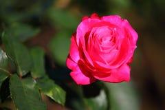 Tè dell'ibrido della rosa di rosa Immagini Stock Libere da Diritti