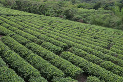 Tè della Taiwan Fotografia Stock Libera da Diritti