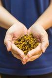 Tè di camomilla asciutto sulla mano della donna Immagine Stock