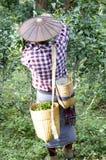 Tè di raccolto dell'uomo nei campi Fotografie Stock Libere da Diritti