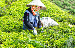 Tè di raccolto della donna dell'agricoltore sulla collina Fotografia Stock Libera da Diritti