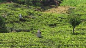 tè di raccolto sulla piantagione, gennaio 2016 in Nuwara Eliya, Sri Lanka video d archivio