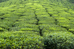 Tè in Munnar Fotografie Stock Libere da Diritti