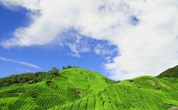Tè Plantati degli altopiani di Cameron Immagini Stock
