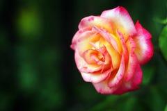 Tè Rosa fotografie stock