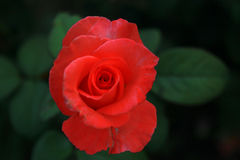 Tè Rosa Fotografie Stock Libere da Diritti