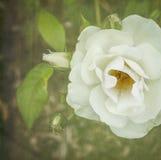 Tè Rosa bianco Fotografia Stock Libera da Diritti