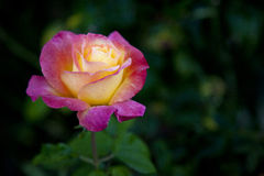 Tè Rosa del giardino Fotografia Stock Libera da Diritti