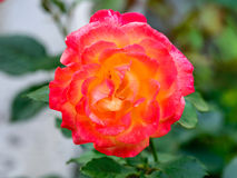 Tè Rosa ibrido 'Bella'roma' Fotografie Stock Libere da Diritti