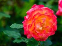 Tè Rosa ibrido 'Bella'roma' Fotografia Stock Libera da Diritti