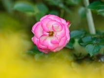 Tè Rosa ibrido 'Bella'roma' Fotografia Stock